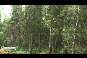 Лисичкин лес